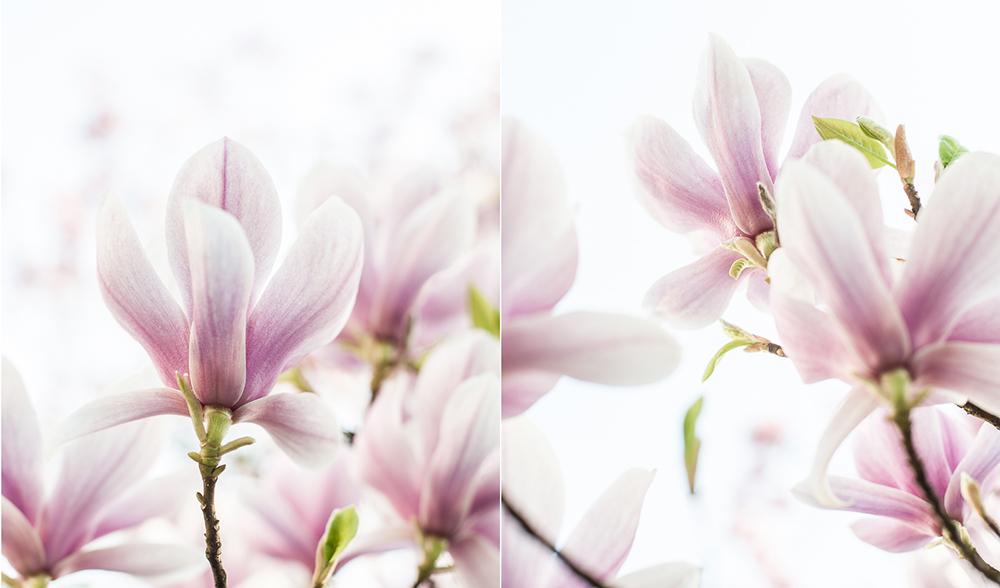 Die Grundbedeutungen Der Magnolie In Der Symbolik Sind Anmut, Schönheit,  Wahre Liebe, Reinheit, Kraft Aus Der Tiefe.